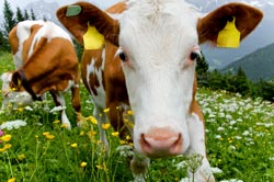 tagged cow 3 Quick Tips to Tag and Track with Google Analytics